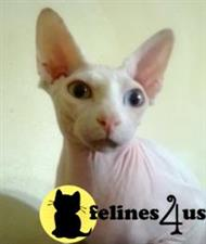sphynx cat posted by sandy archey