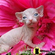 sphynx kitten posted by sandy archey
