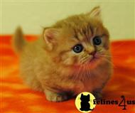 munchkin kitten posted by KaiserOpera