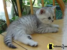 british shorthair kitten posted by Elena7777