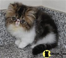 persian kitten posted by sugarfrance