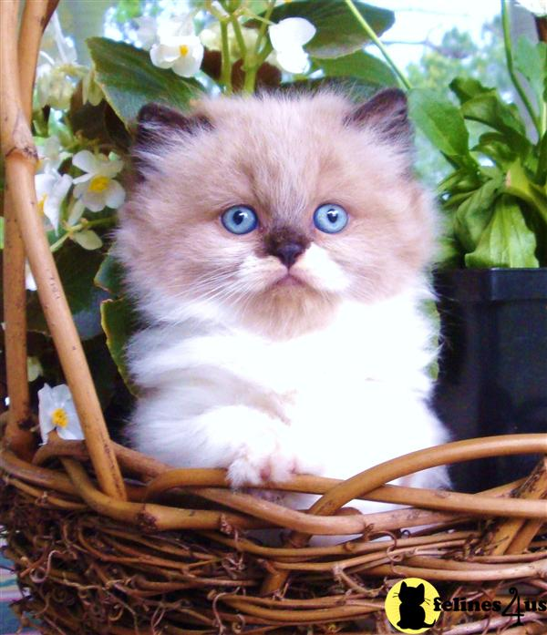 Himalayan Kittens in South Carolina
