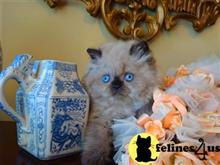 himalayan kitten posted by FERSACE KATZ