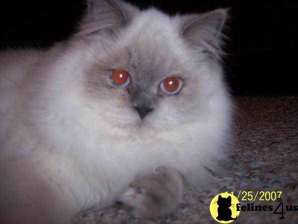 himalayan cats for sale himalayan cats up for stud himalayan breeders ...
