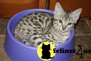 Kittens for Sale in Missouri