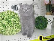 scottish fold kitten posted by AlexaKittens