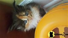 maine coon kitten posted by juju61036