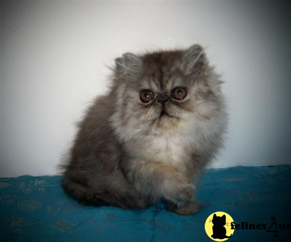 Kittens for Sale in New Mexico