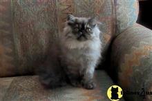 Kittens for Sale in Arizona