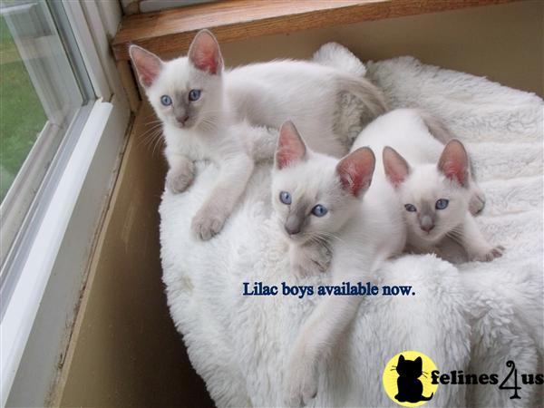 PA USA, Siamese Kittens