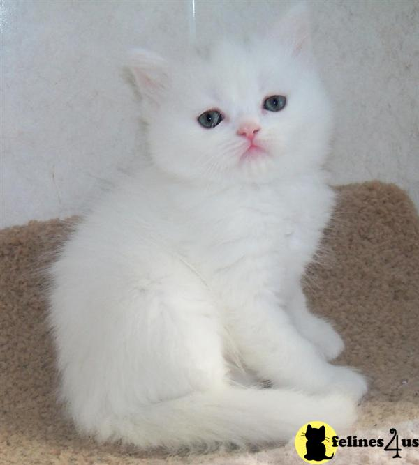 Golden Home train Male And Female Persian Kittens Ready For Kids Good ...