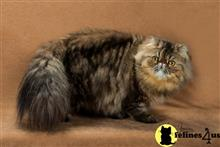 persian cat posted by Mikkat