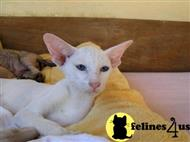 oriental kitten posted by peterbald