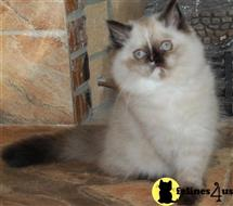 himalayan kitten posted by Pennyshaffer
