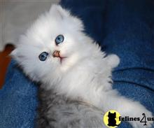 persian kitten posted by Pennyshaffer