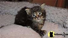 maine coon kitten posted by mid-am-maine