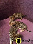 bengal kitten posted by rythme20