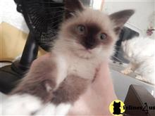balinese kitten posted by prosperity cattery