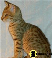 savannah kitten posted by Debs Klassy Kats
