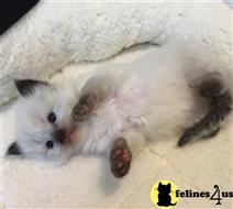 ragdoll kitten posted by owensrags