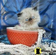 himalayan kitten posted by persian kittens
