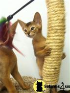 abyssinian kitten posted by Lane