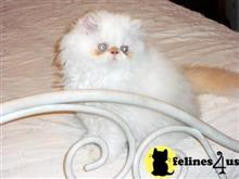 himalayan cat posted by Blue Magnolia