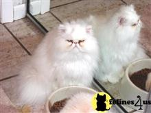 persian cat posted by Blue Magnolia