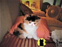 persian kitten posted by Blue Magnolia
