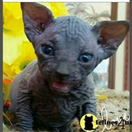 sphynx kitten posted by barebottomsphynx