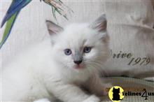 ragdoll kitten posted by VanLandingham
