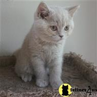british shorthair kitten posted by Britz