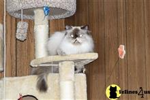 himalayan cat posted by swangirla20062