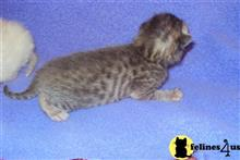 bengal kitten posted by taraznprints