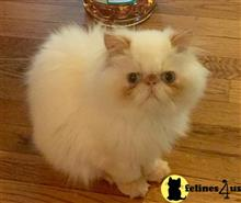 himalayan kitten posted by samuel75
