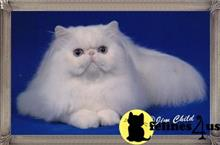 himalayan cat posted by samuel75
