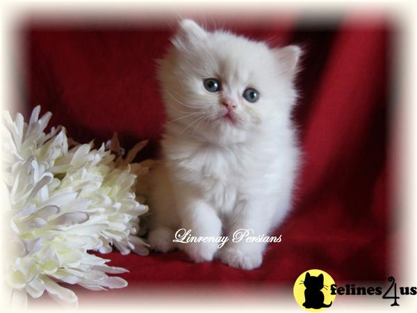 Kitty Cats In My Life Cats Galery Photos Persian Cat Breeder In Pa