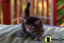 siberian kitten posted by tatyana487