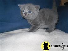 british shorthair kitten posted by Keeny
