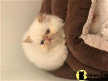 himalayan kitten posted by Magnolia Mousers