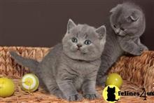 british shorthair kitten posted by Cmaleknia