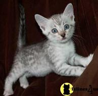 egyptian mau kitten posted by paulmacanana12