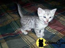 egyptian mau kitten posted by kellymachanters2