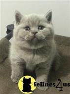british shorthair kitten posted by 1969Ilona