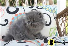 Persian kittens for sale in illinois