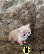 exotic shorthair kitten posted by PlushPersians