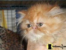 exotic shorthair kitten posted by loylaine