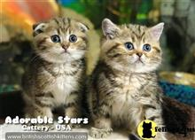 British Shorthair Kittens for sale in Florida