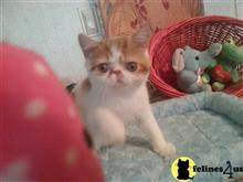 exotic shorthair kitten posted by Lorane