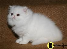 persian kitten posted by conelymaly